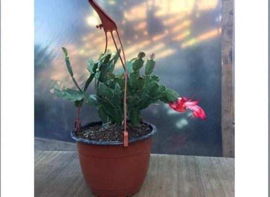 Cactus Schumbergera